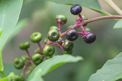 Phytolaccaceae Стоковые Фотографии RF