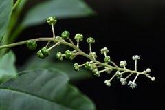 Phytolaccaceae Стоковое Фото
