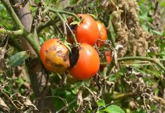 Phytophthora infestans is an oomycete that causes the serious tomatoes disease known as late blight or potato blight. stock photography