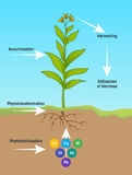 Phytoremediation Phytotransformation Stockbilder