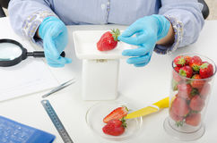 Phytosanitary expert hands weighing strawberries Royalty Free Stock Images