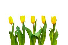 Pięć żółtych tulipanów na białym tle są dokładnie z rzędu obraz royalty free