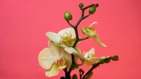 Piękna biała orchidea obrazy stock