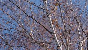 Piękna brzozy jesień Kolor żółty opuszcza kiwanie w wiatrze zbiory wideo