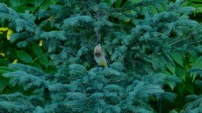 Piękna Cedrowa jemiołucha, Bombycilla garrulus, umieszczający na świerkowej gałąź zbiory wideo