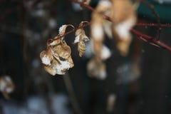 Piękna gałąź z pomarańcze i kolorem żółtym opuszcza w opóźnionym spadku lub wczesnej zimie pod śniegiem Pierwszy śnieg, śnieżni p zdjęcia royalty free
