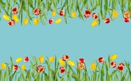 Piękna kwiecista bezszwowa granica Czerwoni i żółci tulipany z zielonymi liśćmi w jaskrawym mockup obraz stock
