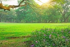 Piękna purpurowa Britton dzika petunia lub meksykanina bluebell kwiat i zielonej trawy gazon pod gałąź Podeszczowy drzewo, drewna fotografia royalty free