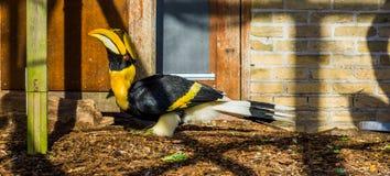 Piękna wielka indyjska dzioborożec, duży tropikalny ptak od Azja, zagrażający zwierzęcy specie z podatnym statusem zdjęcie stock