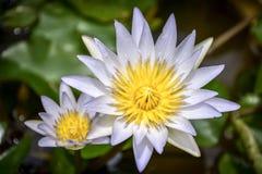 piękne lotosowe purpury zdjęcie stock