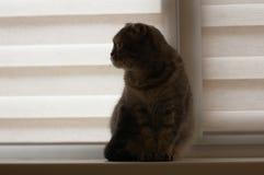 Pięknego szkockiego fałdu kota popielaty obsiadanie na nadokiennym parapecie zdjęcie royalty free