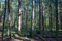 Pięknej jesieni świerkowy las w jesieni w Wrześniu zdjęcia stock