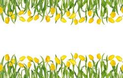 Piękni żółci tulipany na trzonach z zielonymi liśćmi w bezszwowej horyzontalnej ramie pojedynczy białe tło zdjęcie royalty free