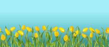 Piękni żywi żółci tulipany na długich trzonach z zielonymi liśćmi układali w bezszwowym rzędzie błękitne niebo tła zdjęcia stock