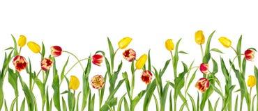 Piękni żywi czerwoni i żółci tulipany na długich trzonach z zielonymi liśćmi układali w bezszwowym rzędzie pojedynczy białe tło ilustracja wektor