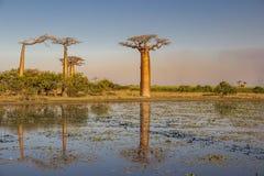 Piękni baobabów drzewa przy zmierzchem przy aleją baobaby w Madagascar zdjęcie stock