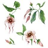 Piękni egzotyczni kwieciści ustaleni Strophanthus lub pająka warkocze kwitną na gałązce z liśćmi pojedynczy białe tło royalty ilustracja