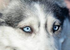 Piękni niebieskie oczy w szarym siberian husky psie Makro- widok obraz stock