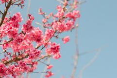 Piękni różowi czereśniowi okwitnięcia w ogródzie zdjęcie royalty free