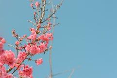 Piękni różowi czereśniowi okwitnięcia w ogródzie obraz royalty free