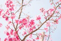 Piękni różowi czereśniowi okwitnięcia w ogródzie obrazy stock