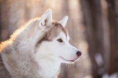 Piękny, śliczny i bezpłatny Syberyjskiego husky psa obsiadanie na śnieżnej ścieżce w zima lesie przy zmierzchem, zdjęcia stock