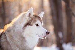 Piękny, śliczny i bezpłatny Syberyjskiego husky psa obsiadanie na śnieżnej ścieżce w zima lesie przy zmierzchem, obraz stock