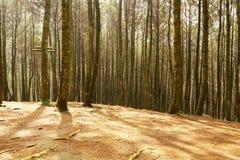 Piękny światło przy sosnowym lasem obraz stock