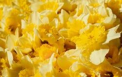 Piękny bukiet żółci daffodils zamknięci w górę fotografia stock
