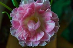 Piękny bukiet delikatnie różowi Terry tulipany obrazy royalty free
