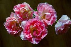 Piękny bukiet delikatnie różowi Terry tulipany zdjęcie royalty free