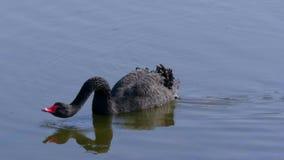 Piękny Czarny łabędź pływa na stawie zbiory