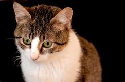 Piękny kot z klatką piersiową i puszystym błyszczącym włosy zieloną oczu, białej, ilustracja wektor