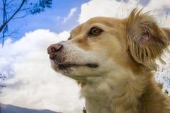 Piękny kundla psa kolor żółty z bielem obraz royalty free