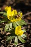 Piękny kwiat z ciężką pracującą pszczołą obrazy royalty free