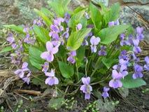 Piękny kwitnący krzak fiołkowi lasowi fiołki w wczesnej wiośnie obraz stock