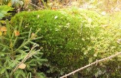 Piękny mech i liszaj zakrywający kamień Jaskrawy - zielony mech tło Naszły zielony abstrakta wzór Mech z małym zdjęcia royalty free