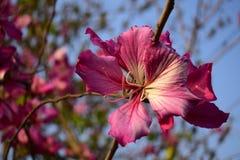 Piękny porcelany róży kwiat kwitnie patrzeć bardzo wspaniały i powabny obrazy royalty free