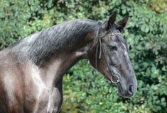 Piękny portret szary sporta koń na zielonym tle fotografia royalty free