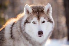 Piękny, poważny i bezpłatny Syberyjskiego husky psa obsiadanie na śnieżnej ścieżce w zima lesie przy zmierzchem, zdjęcie royalty free