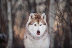 Piękny, prideful i bezpłatny Syberyjskiego husky psa obsiadanie na śnieżnej ścieżce w zima lesie przy zmierzchem, fotografia stock