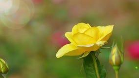 Piękny róża kwiat w ogródzie także z ładnym tło kolorem zdjęcie wideo