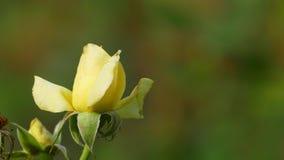 Piękny róża kwiat w ogródzie także z ładnym tło kolorem zbiory