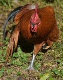 Piękny Silky Brown pasma Bezpłatny kogut z skrzydłem Stronniczo Przedłużyć zdjęcie stock