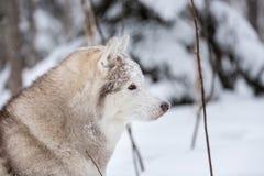 Piękny, szczęśliwy i bezpłatny beżu psa trakenu siberian husky obsiadanie na śniegu w czarodziejskim zima lesie, fotografia royalty free
