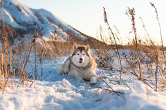 Piękny, szczęśliwy i bezpłatny siberian husky psa lying on the beach na wzgórzu w więdnącej trawie przy zmierzchem, fotografia royalty free