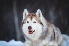 Piękny, szczęśliwy i bezpłatny Syberyjskiego husky psa lying on the beach na śnieżnej ścieżce w zima lesie, obrazy stock