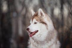 Piękny, szczęśliwy i bezpłatny Syberyjskiego husky psa obsiadanie na śnieżnej ścieżce w zima lesie przy zmierzchem, zdjęcie royalty free