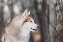 Piękny, uroczy i bezpłatny Syberyjskiego husky psa obsiadanie na śnieżnej ścieżce w zima lesie przy zmierzchem, zdjęcia stock