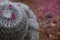 Piękny w górę kwitnienie menchii kwiatu zielony kaktus w pustyni fotografia royalty free